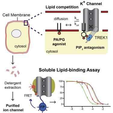 A Soluble Fluorescent Binding Assay Reveals PIP2 Antagonism of TREK