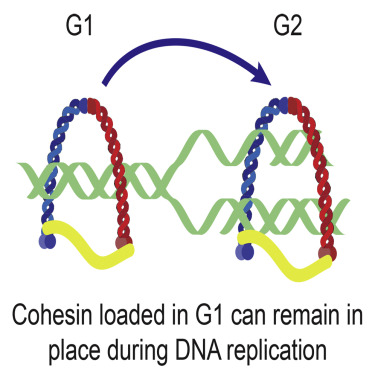 Cohesin Can Remain Associated with Chromosomes during DNA