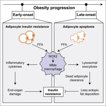 Metabolically Activated Adipose Tissue Macrophages Perform