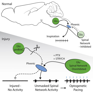 A Latent Propriospinal Network Can Restore Diaphragm Function after ...