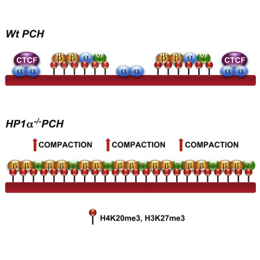 Mammalian HP1 Isoforms Have Specific Roles in Heterochromatin