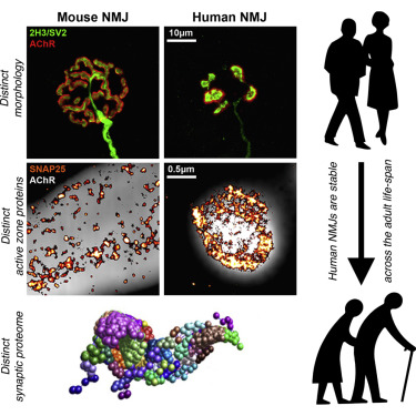 Cellular And Molecular Anatomy Of The Human Neuromuscular Junction
