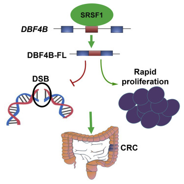 Srsf1 prevents dna damage and promotes tumorigenesis through graphical abstract ccuart Images