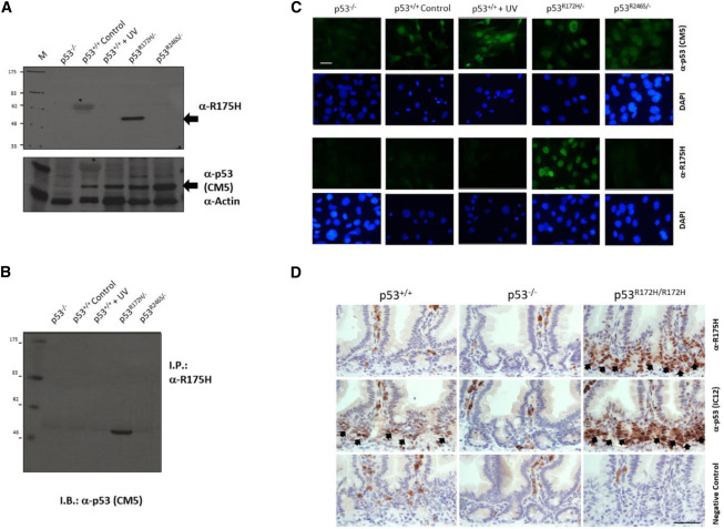 Monoclonal Antibodies against Specific p53 Hotspot Mutants