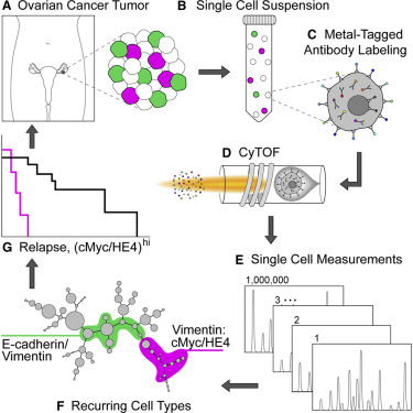 Commonly Occurring Cell Subsets In High Grade Serous Ovarian Tumors Identified By Single Cell Mass Cytometry Sciencedirect