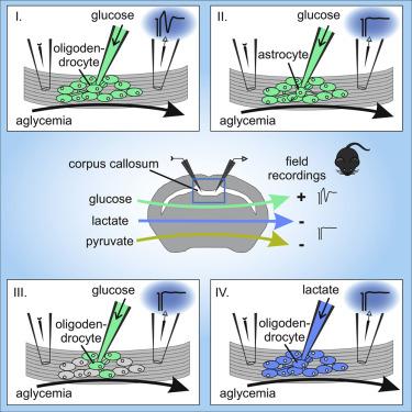 Oligodendrocytes in the Mouse Corpus Callosum Maintain Axonal ...