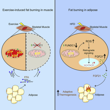 high fat diet and fgf21 cooperatively promote thermogensis