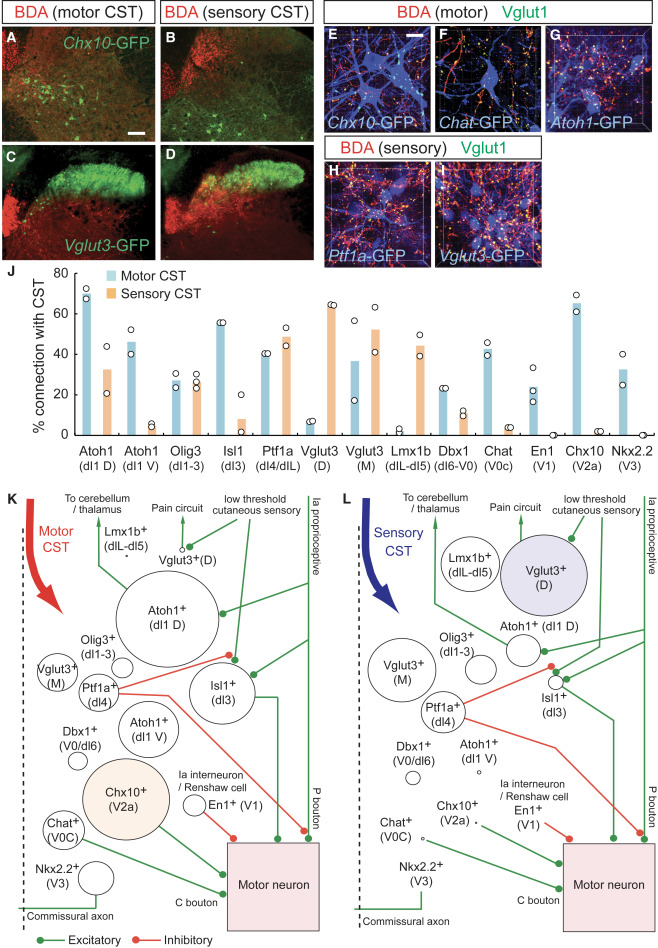 Corticospinal Circuits from the Sensory and Motor Cortices