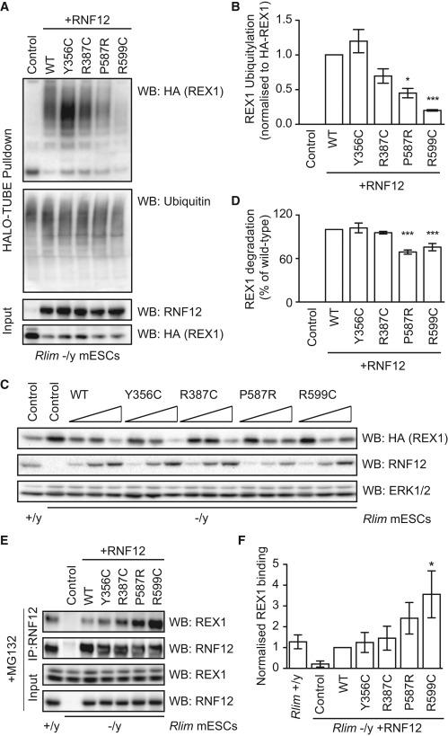 RNF12 X-Linked Intellectual Disability Mutations Disrupt E3