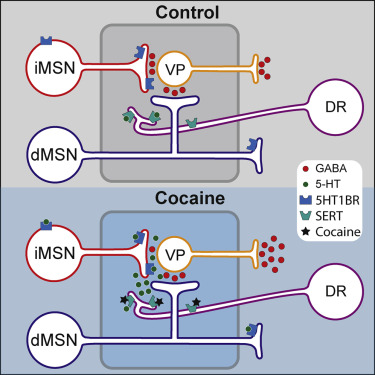 Cocaine Inhibition Of Synaptic Transmission In The Ventral Pallidum