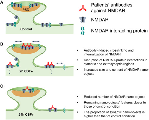 Nmda Receptor Autoantibodies In Autoimmune Encephalitis Cause A