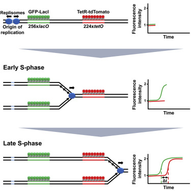 A Live Cell Imaging Approach For Measuring Dna Replication Rates Sciencedirect