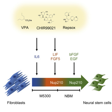 Direct Conversion of Mouse Fibroblasts into Neural Stem