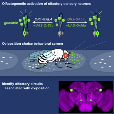 Navigator Neurons Play Critical Role In Sense Of Smell >> Olfactory Neurons And Brain Centers Directing Oviposition