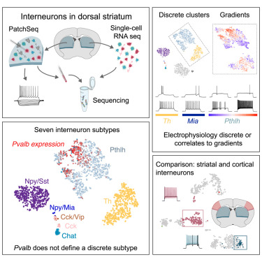 Diversity of Interneurons in the Dorsal Striatum Revealed by Single