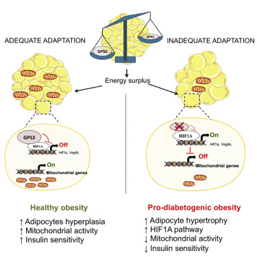 Gps2 Deficiency Triggers Maladaptive White Adipose Tissue Expansion In Obesity Via Hif1a Activation Sciencedirect