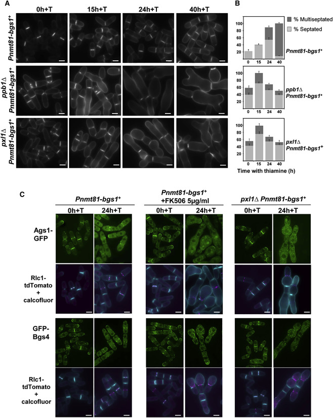 Paxillin-Mediated Recruitment of Calcineurin to the