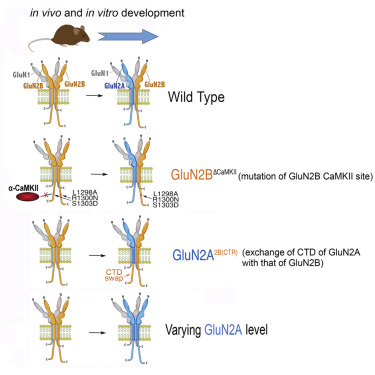 The Developmental Shift Of Nmda Receptor Composition Proceeds