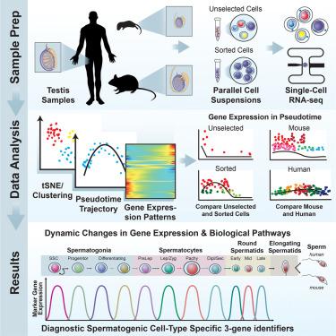 The Mammalian Spermatogenesis Single-Cell Transcriptome