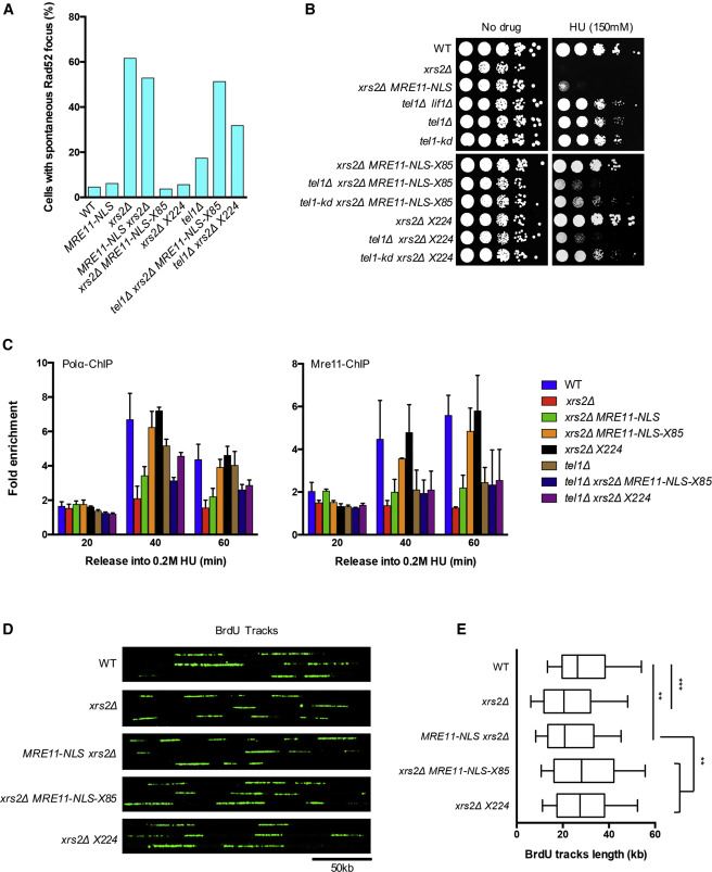 Xrs2 and Tel1 Independently Contribute to MR-Mediated DNA