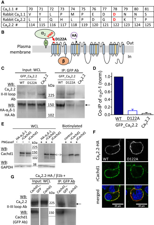 The α2δ-like Protein Cachd1 Increases N-type Calcium