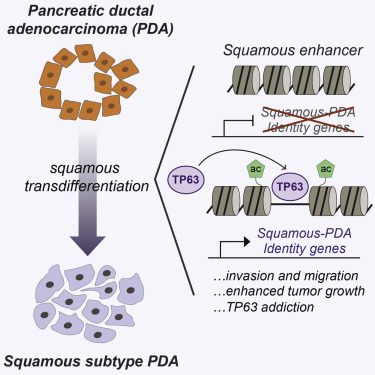 TP63-Mediated Enhancer Reprogramming Drives the Squamous