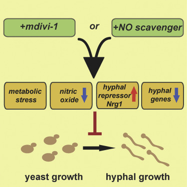 A Metabolic Checkpoint for the Yeast-to-Hyphae Developmental