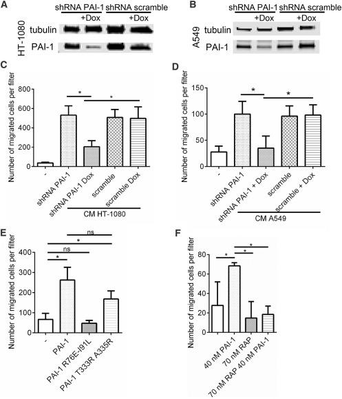 Plasminogen Activator Inhibitor-1 Promotes the Recruitment