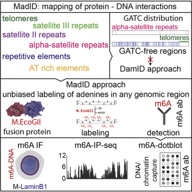 MadID, a Versatile Approach to Map Protein-DNA Interactions