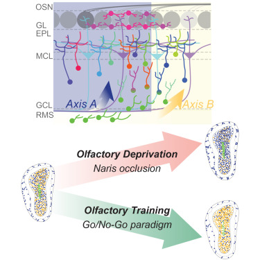 Single-Cell RNA-Seq of Mouse Olfactory Bulb Reveals Cellular ... on