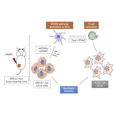 Parp Inhibition Elicits Sting Dependent Antitumor Immunity In Brca1 Deficient Ovarian Cancer Sciencedirect
