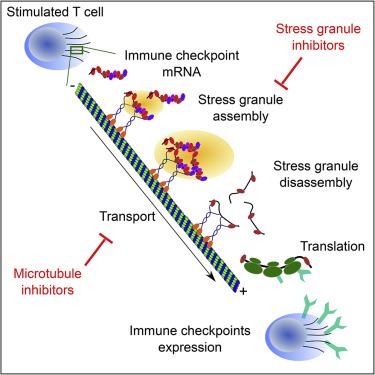 microtubule-driven stress granule dynamics regulate inhibitory     on  image mtd wiring diagram on windsor versamatic plus 14