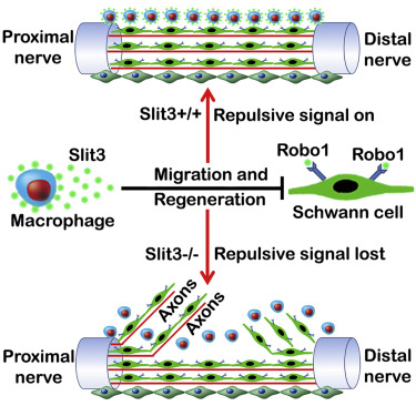 Macrophage-Derived Slit3 Controls Cell Migration and Axon