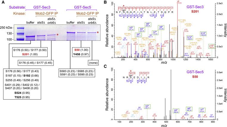 Fission Yeast NDR/LATS Kinase Orb6 Regulates Exocytosis via