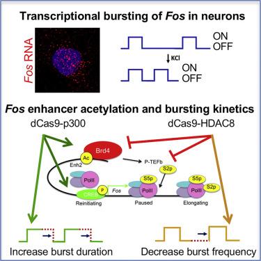 Enhancer Histone Acetylation Modulates Transcriptional