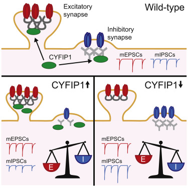 Autism May Reflect Excitation >> Autism And Schizophrenia Associated Cyfip1 Regulates The Balance Of