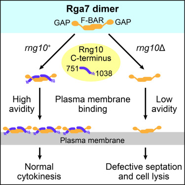 The F-BAR Domain of Rga7 Relies on a Cooperative Mechanism of