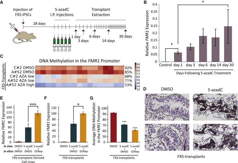 FMR1 Reactivating Treatments in Fragile X iPSC-Derived