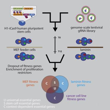 Essential Gene Profiles for Human Pluripotent Stem Cells