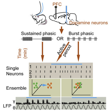 Dopamine Modulation of Prefrontal Cortex Activity Is