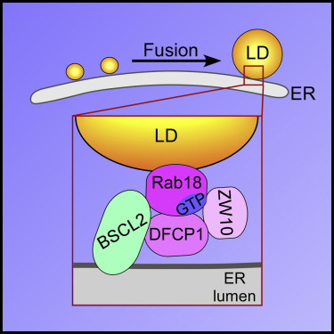 The ER-Localized Protein DFCP1 Modulates ER-Lipid Droplet