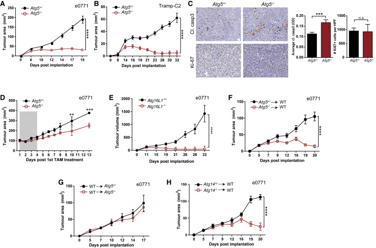 Autophagy Regulation of Metabolism Is Required for CD8+ T