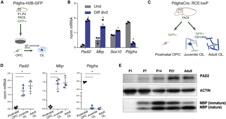 PAD2-Mediated Citrullination Contributes to Efficient