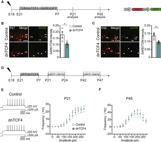 Transient Deregulation of Canonical Wnt Signaling in
