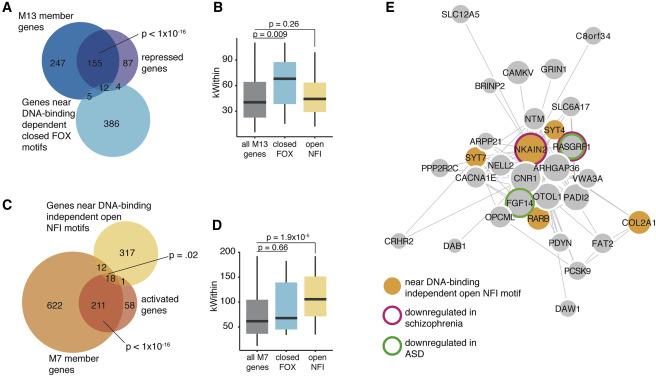 Chromatin Decondensation by FOXP2 Promotes Human Neuron