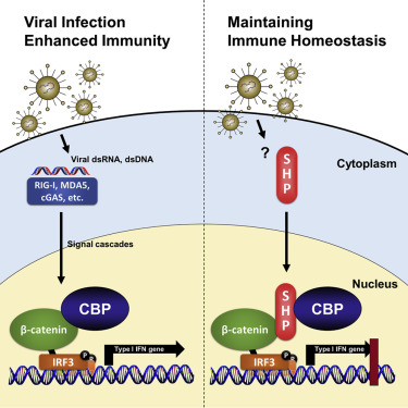 Small Heterodimer Partner Controls the Virus-Mediated