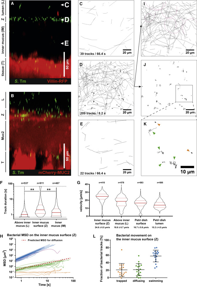 Mucus Architecture and Near-Surface Swimming Affect Distinct