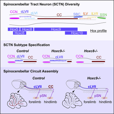 Molecular Logic of Spinocerebellar Tract Neuron Diversity