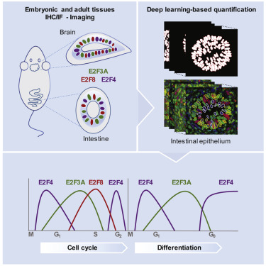 Two Distinct E2F Transcriptional Modules Drive Cell Cycles