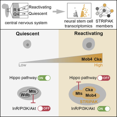 STRIPAK Members Orchestrate Hippo and Insulin Receptor Signaling to